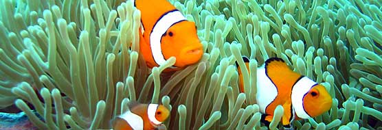 Clownfisch - Tauchen in Phuket
