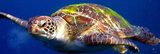 Meeresschildkröte - Kamala Dive Service