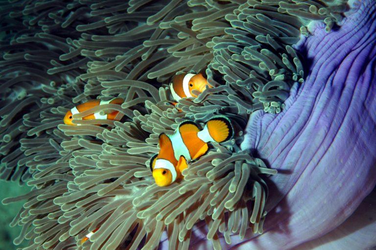 Anemonenfisch - Tauchschule Kamala Beach