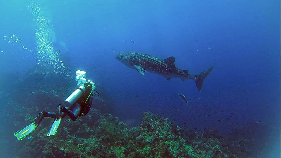 Walhai - Kamala Dive Center