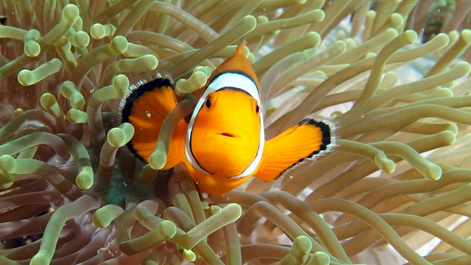 Clownfisch Phuket Tauchschule