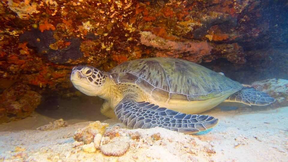 Wasserschildkröte Deutsche Tauchschule Phuket