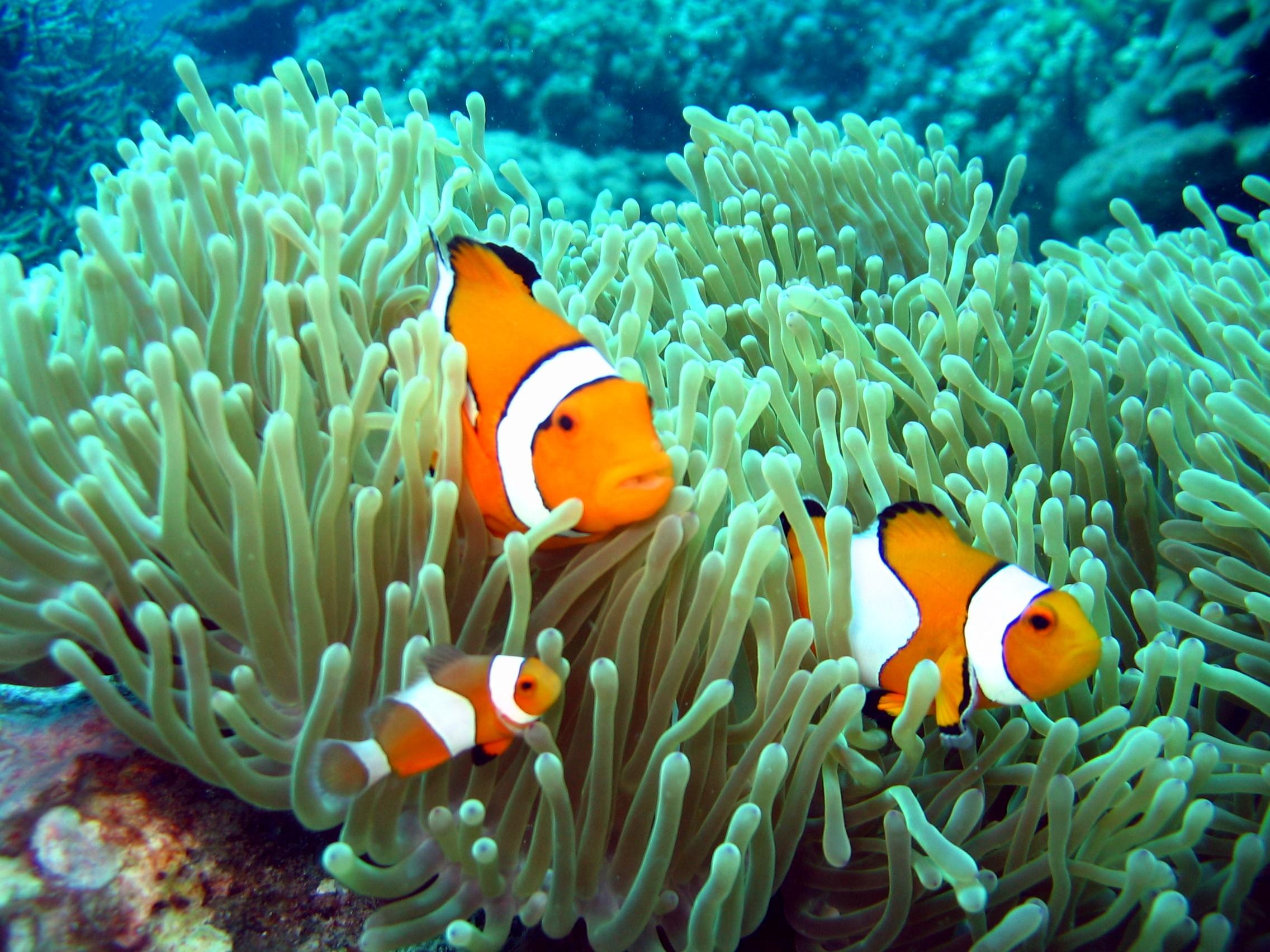 Clownfisch-Deutsche Tauchschule Phuket