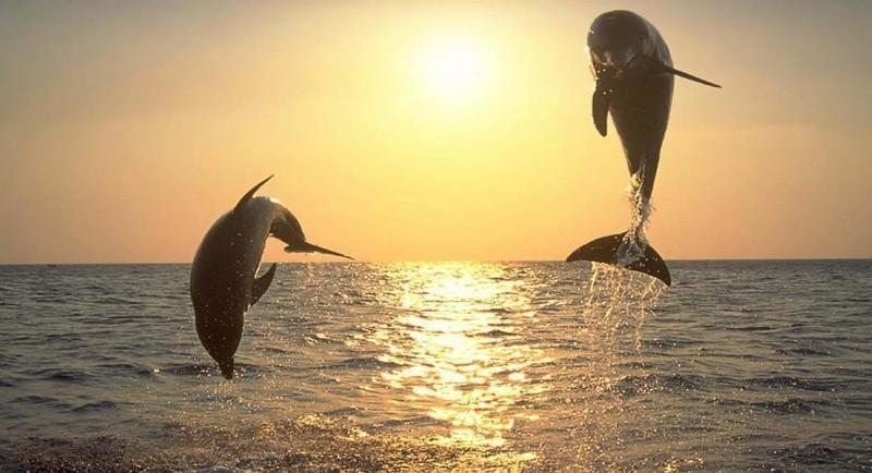 Springende Dolpine Kamala Beach Tauchschule