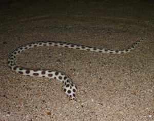 Gefleckter Schlangenaal Phuket Tauchschule