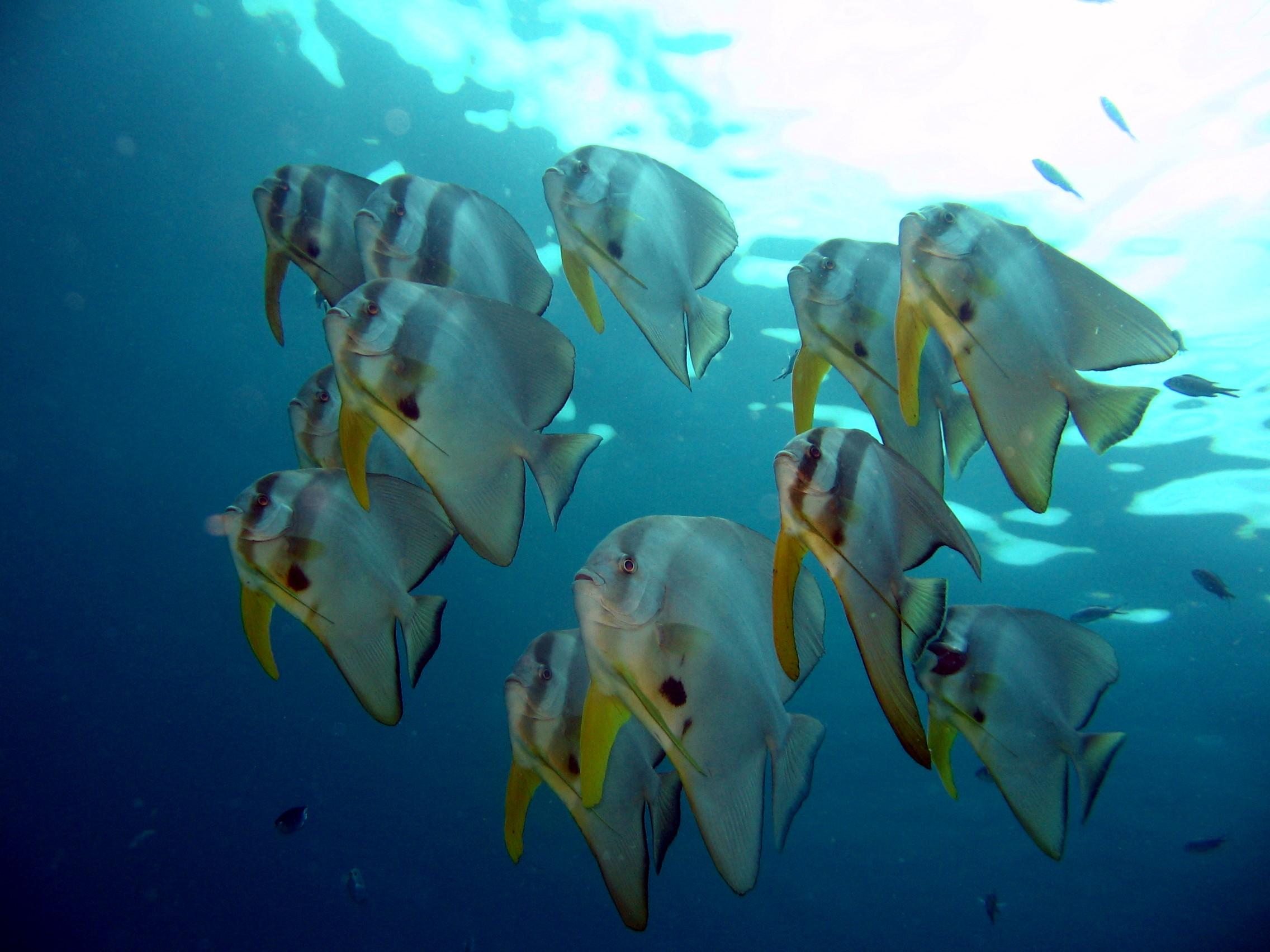 Fledermausfische Phuket Tauchschule