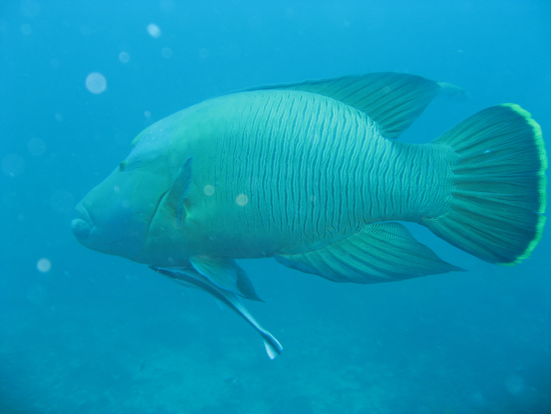 Napoleonfisch Kamala Beach Tauchschule