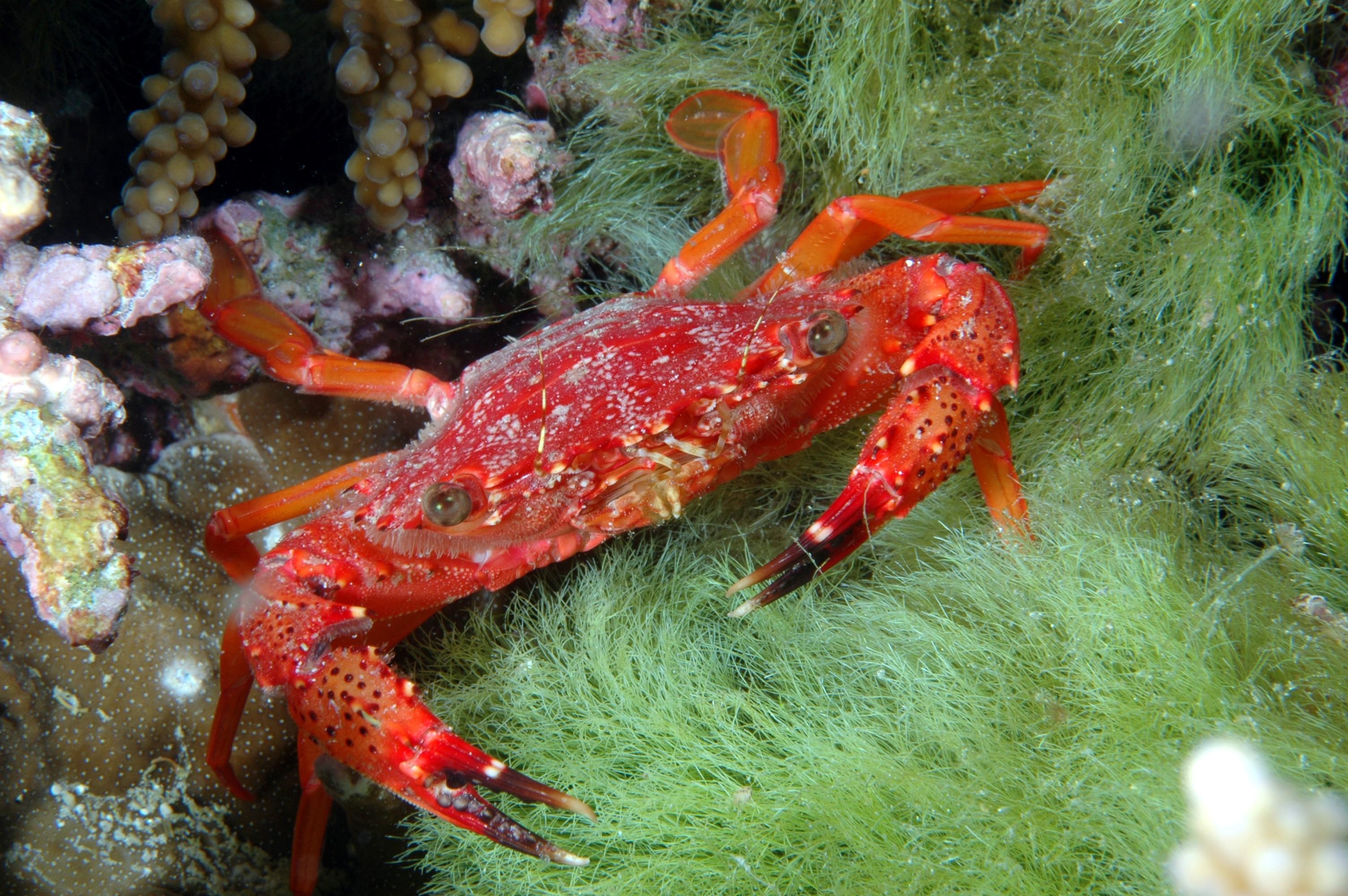 Rote Krabbe Phuket Tauchschule