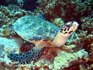 Wasserschildkröte Kamala Beach Tauchschule
