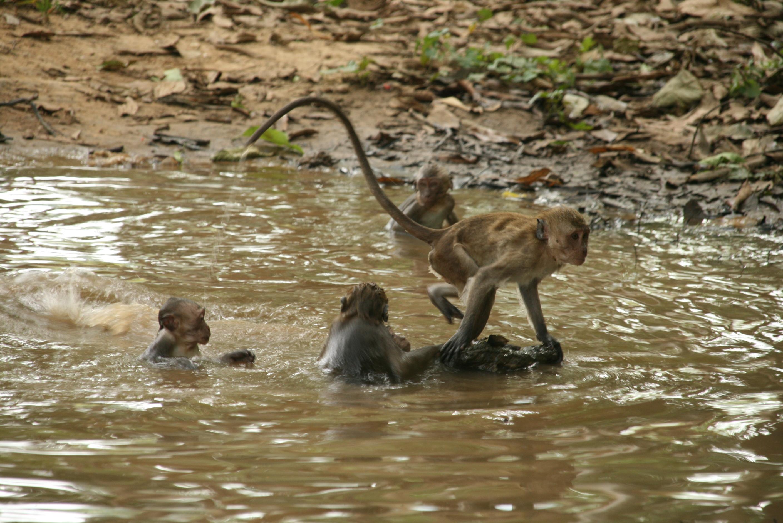 Affenfamilie beim Baden - Tauchen Phuket
