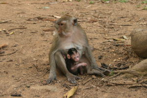 Affenmutter - Kamala Dive Service.