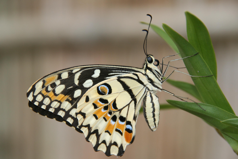 Schmetterling - Deutsche Tauchscule Phuket