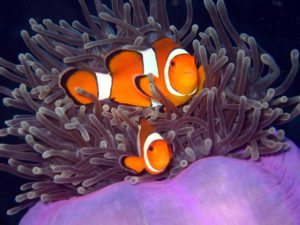 Clownfisch - Tauchen Phuket