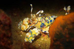 Harlekinschrimps - Phuket Tauchen