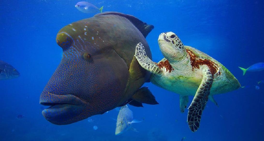Napoleon mit Wasserschildkröte - Phuket Tauchschule