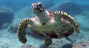 Grüne Meeresschildkröte - Phuket Tauchen