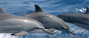 Delfine - Phuket Tauchen