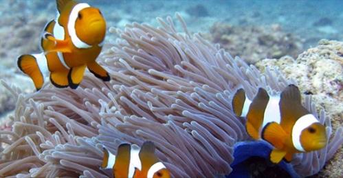 Clownfisch - Kamala Dive Service