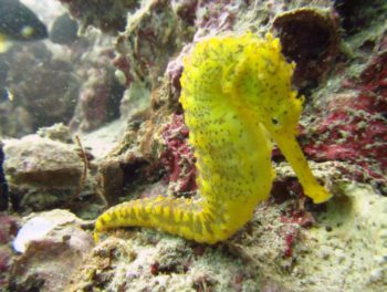 Seahorse - Tauchsafari Similan Islands
