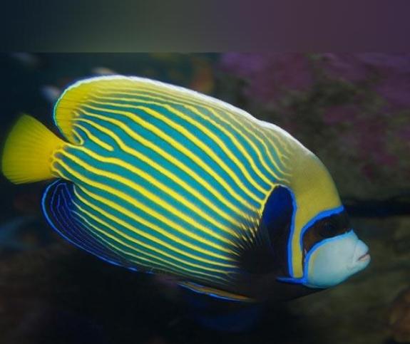 Kaiserfisch - Kamala Dive Service