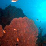 Fächerkorallen - Phuket Tauchen