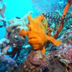 Anglerfisch - Phuket Tauchen