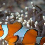 Clownfisch - Tauchen Thailand