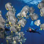 Fledermausfische - Tauchen Similan