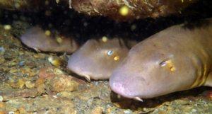 Ammenhai - Tauchen Similann